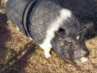 Pot Bellied - Boss - Large - Adult - Male - Pig *He is