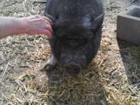 Pot Bellied - Rose - Medium - Young - Female - Pig Rose