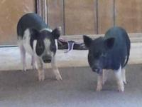 Pot Bellied - Stich - Medium - Young - Male - Pig