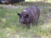 Pot Bellied - Teacup Pigs - Small - Baby - Female -