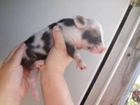 Vietnames potelly pigs they will be 40-80lbs at