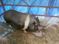Older male and female potbelly pigs make offer, Must go