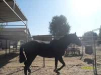 3 years old filly pure $ 5,000 firm potranca de tres