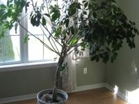 I am selling this clean and smoke free potted tree.