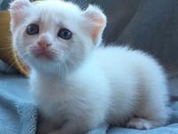 Potty-Raised Munchkin Kittens for your family. come