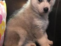 This Siberian husky puppy is 12 weeks old. They are
