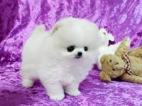 This Pretty T-Cup Puppy Is Nice Coats  Colors  white