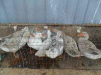 bring your poultry or empty cages to buy at auction in