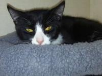 Power is a black and white DSH kitten about 7 months of