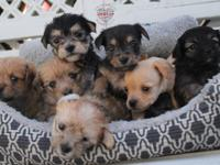 Princess Patty Cake Litter  PPC Litter are 4 week old