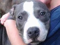 Purple Ribbon UKC Registered Pitbull Pups, welped