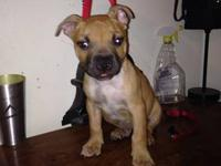 'PR' UKC american pitbull terrier pups for sale. Great