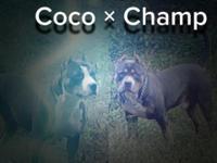 Purple ribbon UKC registered blue tri pit pups are