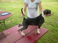 Beautiful Blue & White PR UKC female pitbull pup, last