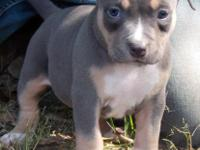 PURPLE BOW UKC REGISTERED AMERICAN PITBULL TERRIERS FOR