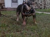 have a razor's edge male american bully puppy for sale,