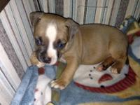 We have a 9 week old male available. He is pR UKC