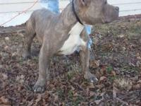 Standing at stud: 2 year old pocket blue brindle male.