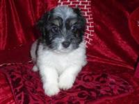 Prancer is a BEAUTIFUL black and white Coton de Tulear