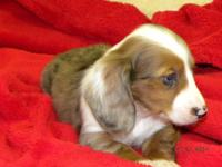 PRANCIE is a women longhair silver dappled piebald