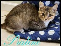 Prayline Female Kitten's story Praline is a beauty with