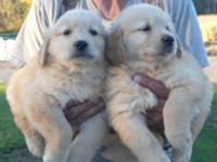 Our beautiful, top quality Golden Retriever puppies are