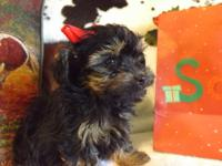 Yorkiepoo male puppy is super sweet and cute as a