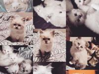 I have 7 gorgeous, Ragdoll kittens, all with beautiful