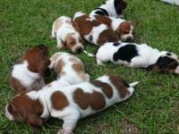 I have a trash of precious basset hound infants that