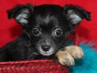 AKC Chihuahua Puppies For Sale! They are beautiful!