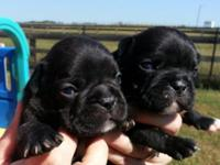 I have 1 female and 1 male black brindle AKC French