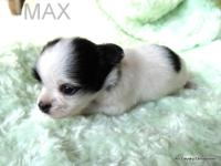 Max is a precious small long coat male AKC registered