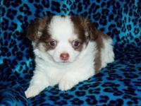 I have 4 priceless male longhair chihuahua puppies to