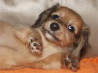 AKC Longhaired mini dachshund puppy. A male shaded