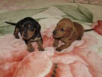 AKC Miniature Dachshund Precious Puppies with