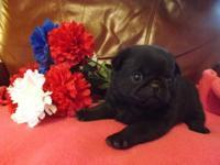 Precious AKC pug puppy , solid black and adorable.