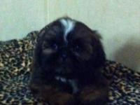 This priceless little Shih Tzu child was born March