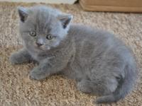 Precious and sweet Scottish fold kittens for sale.Male