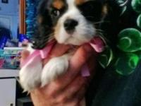 Lovely, Tri-colour, AKC Cavalier King Charles Spaniel