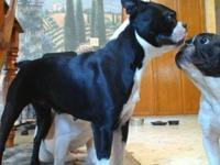 I have female and male Boston Terrier puppies. They are