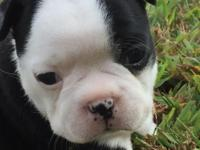 Sweet Girl ACA registered Boston Terrier Puppies. I