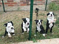 Sweet ACA registered Boston Terrier Puppies. I have
