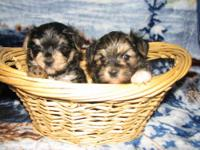Very cute little Morkie Brothers. They will be 8 weeks
