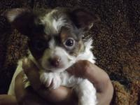 3 adorable Chihuahua puppies available to loving homes.