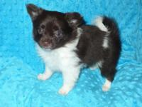 Valuable slightly chocolate and white Chi-a-pom puppy.