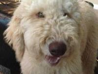 Precious CKC F2b Labradoodle Puppy - Ready to meet his