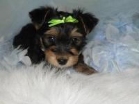 Precious CKC registered Male Morkie Puppy. He is 1/2