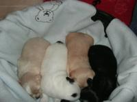 I have four precious little Shih-Tzu puppies for sale.