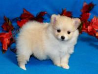 Precious cream Pomeranian Puppy with nice personality