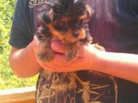 EXTREMELY TINY & COMPACT TEACUP YORKIE MALE. I'VE GOT